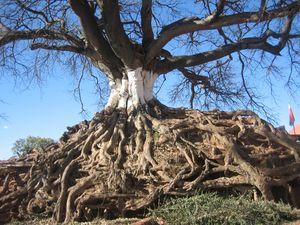 vieil_arbre.JPG